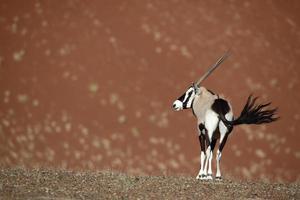 gemsbok oryx framför öken sanddyner, namibia foto
