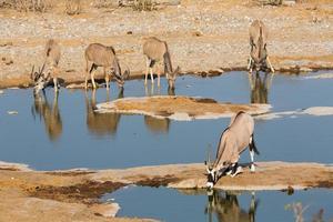 Oryx och kudus dricksvatten foto