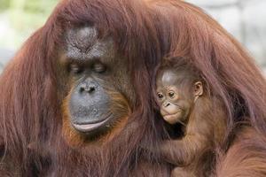 orangutang och baby foto