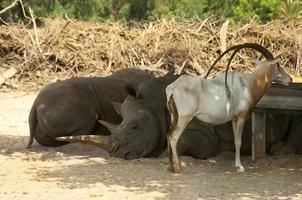 slumrande noshörning foto