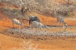 blå gnuer och kudu foto