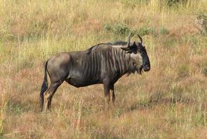 gnuer i Sydafrika foto