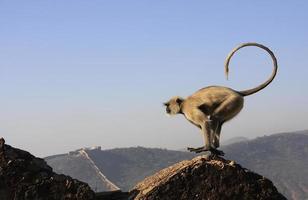 grå langur spelar på taragarh fort, bundi, Indien foto