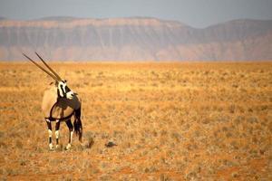 oryx nära sossusvlei, namibia foto
