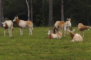 flock av oryx foto
