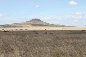 grant´s gazelle, (nanger granti), afrikansk savannah, serengeti, tanzania foto