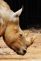 sumatran noshörning (dicerorhinus sumatrensis) foto
