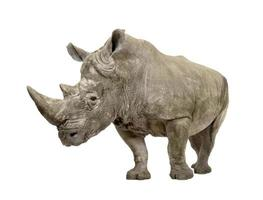 vit noshörning (+/- 10 år) foto