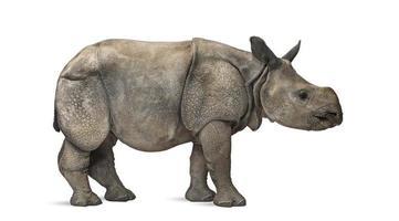 ung indisk enhorns noshörning (8 månader gammal) foto