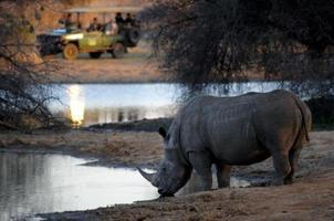 vit noshörning som dricker, ser från en safaribil foto