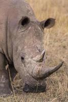 afrikansk noshörning foto