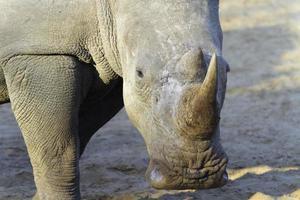 afrikanska vita noshörningar