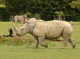 laddar vit noshörning foto