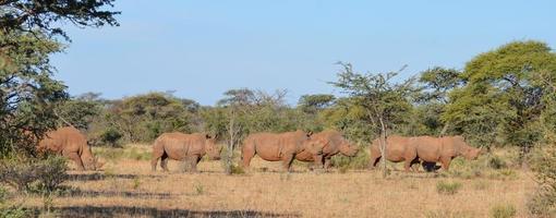 vit noshörning grupp 1 foto