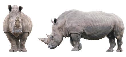noshörning foto