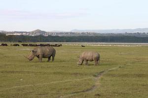vit noshörning, noshörning, (ceratotherium simum), breitmaulnashorn, sjö nakuru, kenya foto