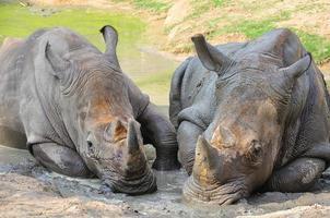 svart noshörning foto