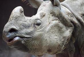 indiska eller java noshörning ansikte på nära håll foto