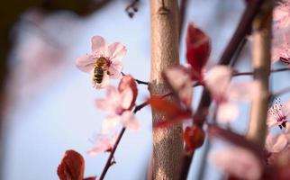 vår körsbärsblomning foto