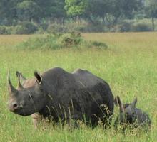 svart noshörning med baby i masai mara, kenia foto