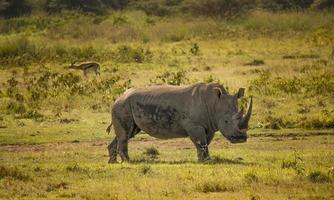vit noshörning i nationalparken Lake Nakuru foto