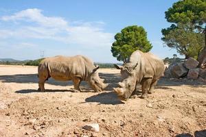 två noshörningar foto