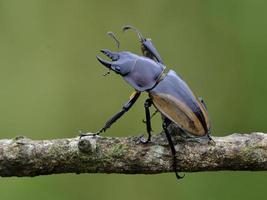 hornfri hona av noshörningskalbaggen (allomyrina dithotomus) foto