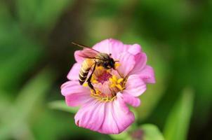 nära upp honungbi på zinnia blomman foto