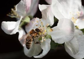bi på rosa äppelblomma foto