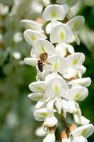 akacia blomma