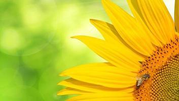 honungbi på en solros foto