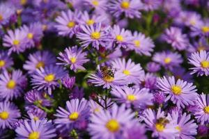 honungbi på blå blommor foto