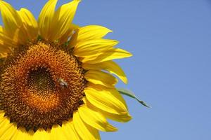 solros och bi foto