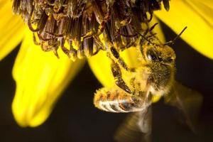honungsbin på gul blomma foto