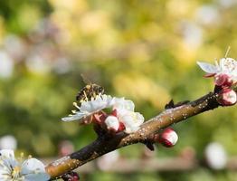 bi på en blomning av aprikos foto