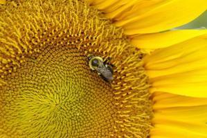 honungbi på solros foto