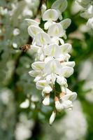 akacia blomma foto