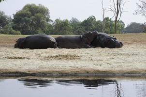 flodhästar baskar foto