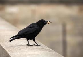 blackbird mellanmål foto