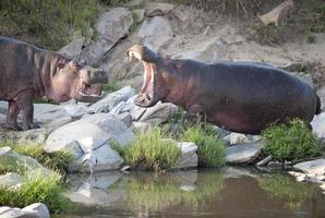 flodhäst. foto