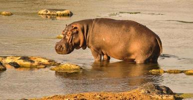 flodhäst på grunt vatten foto