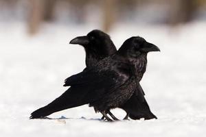 ravens foto