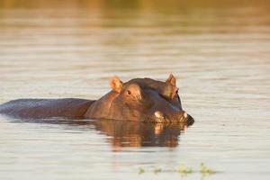 flodhäst i vattnet foto