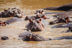 flodhäst i flodhästpoolen foto