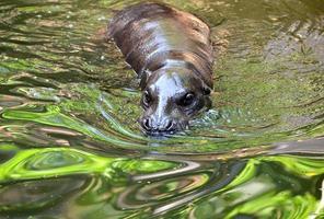 pygmy flodhäst i vattnet foto