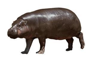 flodhäst. isolerade över vita foto