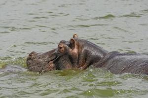 flodhäst i floden Nilen foto