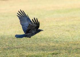 flygande craw foto
