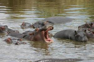 flodhäst med öppen mun, Serengeti, Tanzania, Afrika foto