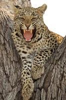 brusande leopard foto